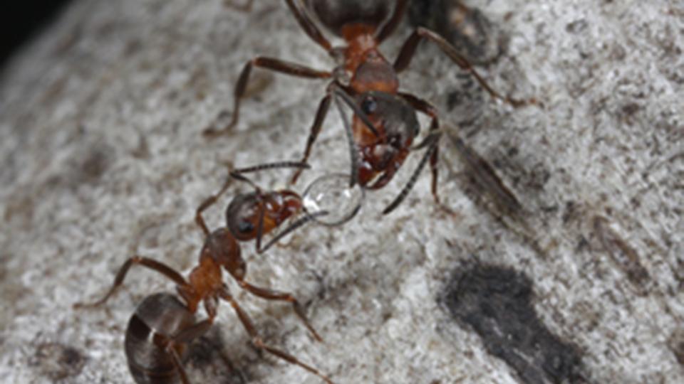 Les fourmis, biodiversité et pollution